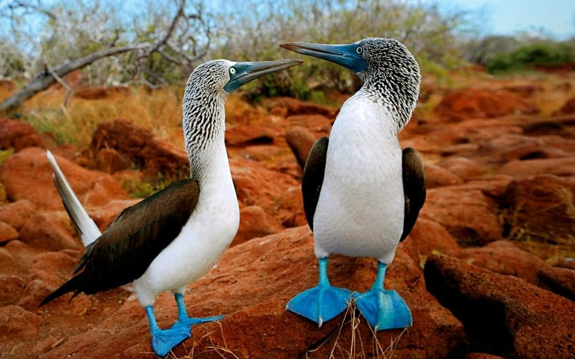 blue-footed-booby-galapagos-islands-bird-sula-animals
